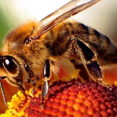 Mejora la producción de tus plantaciones de sandías y melones con ayuda de las abejas